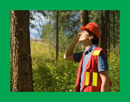 A forester assessing the height of a tree with a clinometer.  The tree to the left is attacked by mountain pine beetle (notice pitch coming out of attack holes)